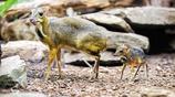 世界最小有蹄類哺乳動物——鼷鹿