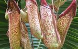 植物圖集:昆蟲的植物天敵豬籠草