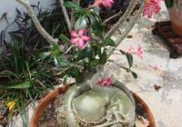 沒想到沙漠玫瑰開花後還能結果,種子採摘下來能培育成新的盆栽