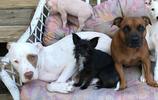 這個家有9只動物,比特犬兄弟照顧2只小狗2只小貓和一隻小豬崽