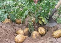 馬鈴薯有毒嗎?