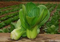 油菜種植的注意事項?油菜僵苗的原因及防治方法