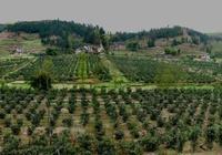 新建桔、柚園的選擇