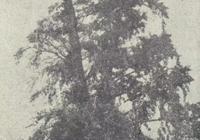 在滬閔路與北鬆路,有一棵高大的銀杏樹,曾是北橋明心教寺的遺址