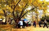 中國千年銀杏谷——千年銀杏十里畫廊,世界最純淨的地方
