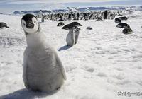 企鵝是哺乳動物嗎?它到底是什麼種類