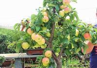 """陽臺上種一棵蘋果樹盆栽,施肥用""""老三樣"""",一棵樹上掛60多個果"""