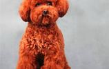 寵物萌狗:泰迪貴賓犬