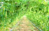 """農民種植一種蔬菜,10畝收入10萬元,被當地人稱為""""致富瓜"""""""