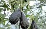 我敢保證你沒見過這種黑色的水果,全身為妖異的黑褐色