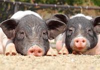 在農村光知道養豬,你就落後了!豬糞變廢為寶,每年盈利30萬