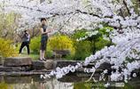 南京:明孝陵滿園櫻花醉遊人
