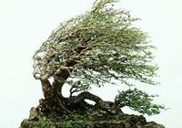 盆景初學者製作盆景技巧,製作盆景應該避免的錯誤!