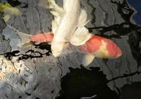 對付較長時間不攝食的觀賞魚就用這些方法,用好了都能順利開食