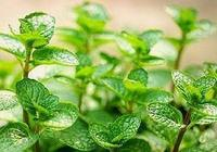 盆栽薄荷不用買,撿一根枝,輕鬆繁殖一大片,泡茶使用好處多
