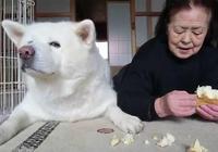 日本短片大賞冠軍,一個日本婆婆和秋田犬的故事,在天堂續寫
