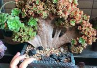 多肉長變異了?養成這樣的盆景,就像一棵小樹!
