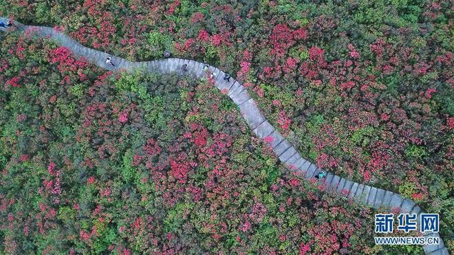 貴州丹寨龍泉山景區映山紅紅遍山嶺,吸引眾多遊客前來賞花觀光