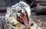 動物圖集:凶猛的雪豹
