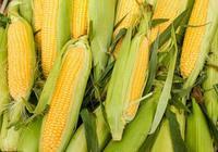 """12月12日玉米市場:東北惜售的兩個理由,還能""""存""""和覺得""""虧"""""""