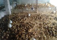 雞群在前10日齡,如何管理和防治疾病?養雞人你知道嗎
