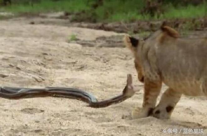 一組:非洲獅子被蟒蛇教訓!