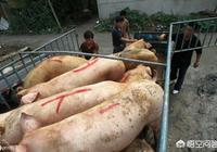 在現階段,如果生豬的價格漲到每斤9元,對養豬戶來說,是不是就可以了?