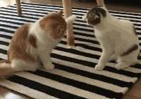 可愛的兩隻貓,貓是好貓,就是打架不正經的!