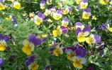 植物圖集:傳說三色堇原本是純白的,經歷了什麼才變成三色堇呢