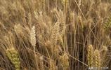 小麥種植大省山東省預計收割時間在5月底,他鄉的你回來收麥子嗎