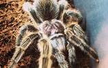 世界上最大的蜘蛛,巨蜘蛛和狗一樣大