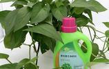 綠蘿西施養綠蘿,用1水,灑1粉,墊1物,綠蘿瘋長100米