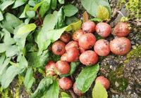 農村這種果實孩子們當零食吃,市場上賣50元一斤,網友:沒見過