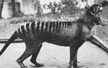 世界上最後一隻袋狼的僅存照片,人類真的是在自取滅亡麼?