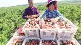 河南光山:種植萬畝鮮桃富農家