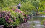 薔薇怒放,濟南五龍潭公園最美的季節到了