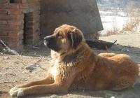 頻危!此狗目前全球存活不到200只,比柴犬更像中華田園犬!
