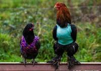 家禽常見疾病最佳用藥技術