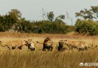 有人說老虎天生畏懼雄獅,這是為什麼?