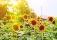端午節小長假,南寧人一定要來這地方看金色花海!50000多株向日葵