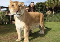 獅虎誰更通人性更聰明?