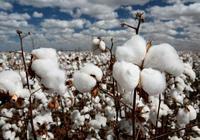 三年目標價格改革 棉花大豆緣何命不同