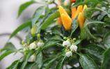 奶奶在陽臺種朝天椒,用農村老辦法,3個小竅門,結果100多個