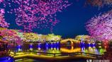 無錫太湖黿頭渚國際櫻花節開幕,賞櫻漸入佳境