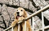 動物圖集:櫻花樹下的大金毛犬