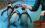 可愛的企鵝