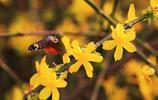絢麗綻放的迎春花