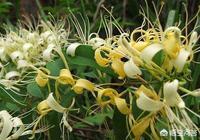 金銀花盆栽怎麼種植?