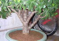 家中養玉樹,記住一個小技巧,長得又肥又茂盛,年年都開花
