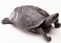 烏龜離開了龜殼會發生啥事?它還能活下去嗎?